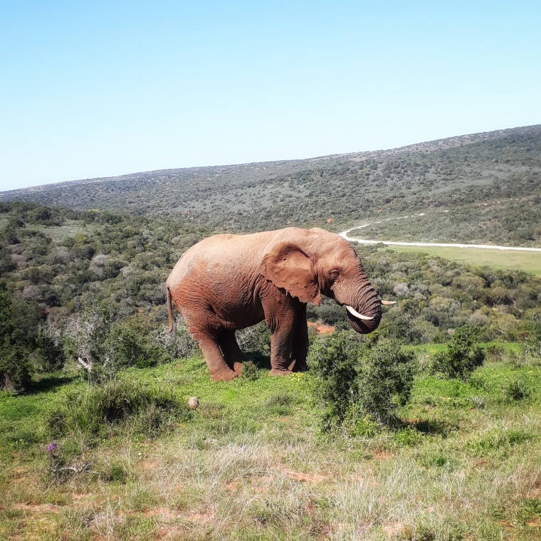 Elephant at Addo